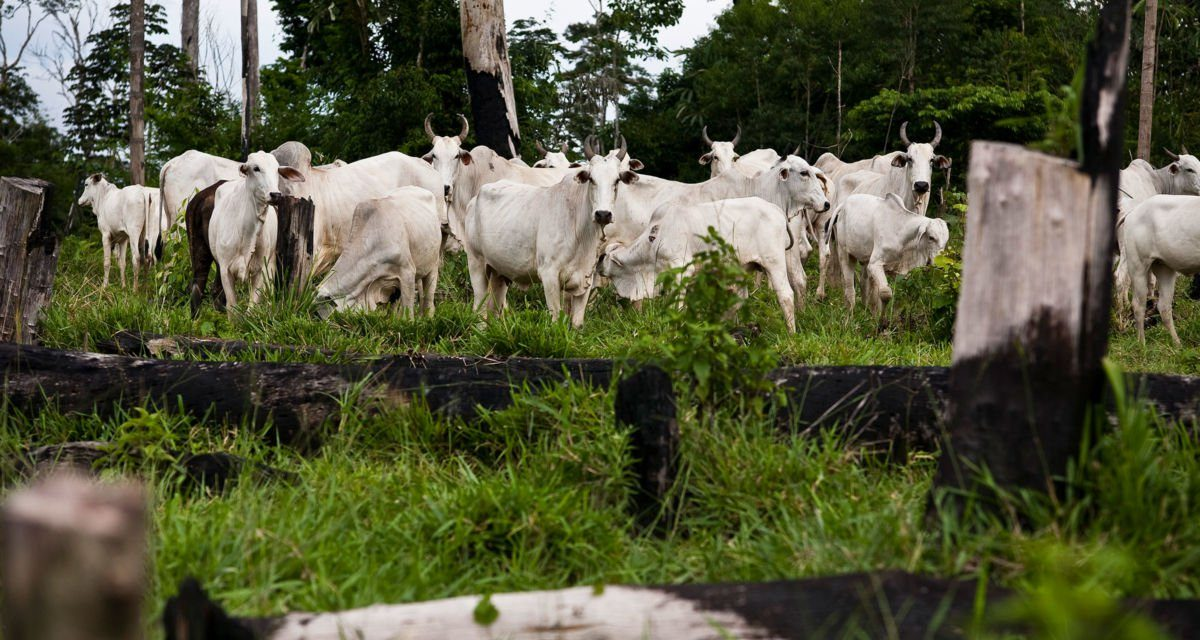 Revealed: How the Global Beef Trade Is Destroying the Amazon