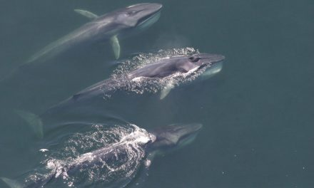 Good News From Iceland: No Whaling This Season