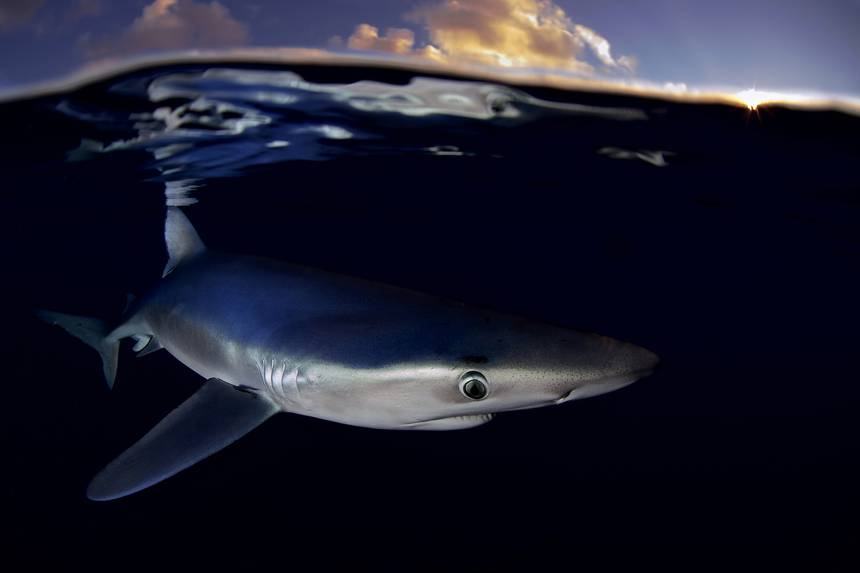 Sharks Under Attack: These Animals Are Overfished and Underprotected