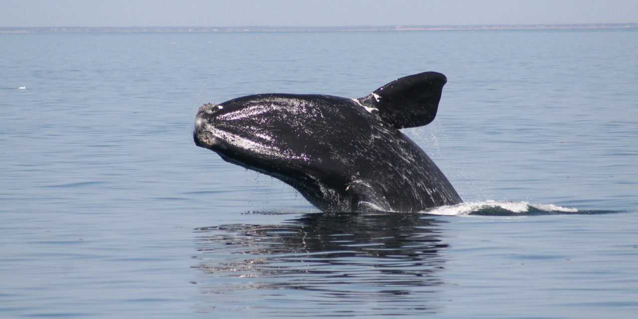 What Would You Say to the Remaining Few North Atlantic Right Whales?