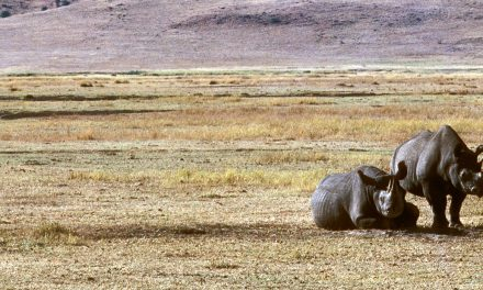 Rhino Population Surges 1,000% in Tanzania Following Poaching Crackdown