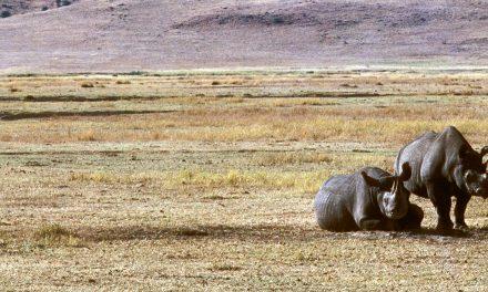 Rhino Population Surges 1,000% in Tanzania Following Poaching Crackdown