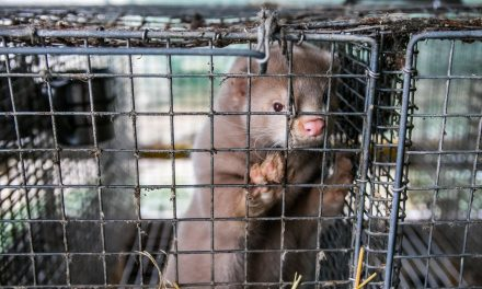 Ireland Will Ban Fur Farms, Saving Thousands of Minks!