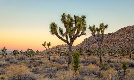 Joshua Trees Facing Extinction
