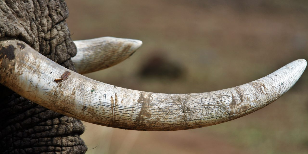 Australia Will Ban Domestic Trade of Ivory and Rhino Horns in Massive Win for Biodiversity