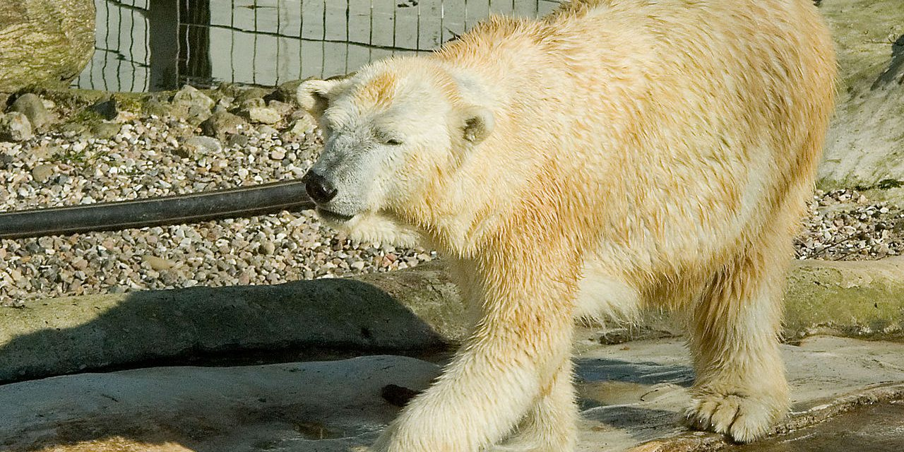 What Keeping Polar Bears in Zoos and Aquariums Does to These Animals Will Shock You
