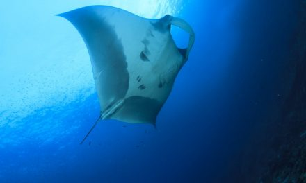 Oceanic Sharks and Rays Have Declined by 71% Since 1970 – A Global Solution Is Needed